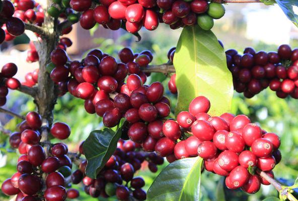 云南小粒咖啡特点及主要产地小百科